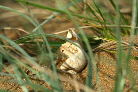 An empty sea turtle egg on the beach in the grass Stock Photo