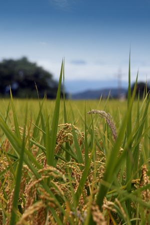 A close up of rice in the feild a few weeks before it will be harvested.