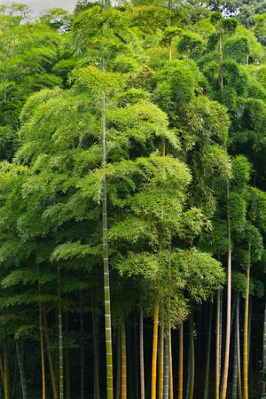 A thriving green bamboo forest at full height Stock Photo - 3725899