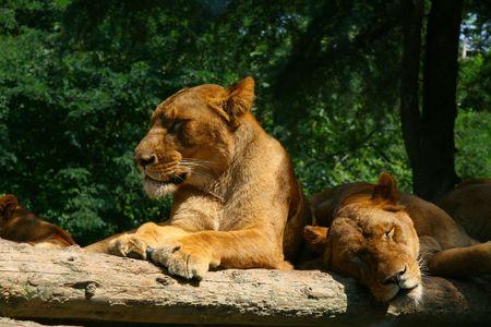 졸린 사자가 햇빛을 즐기고 휴식을 취하십시오.