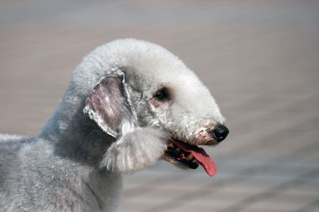 A side portrait of a very cute and fluffy Bedlington terrier Stock Photo