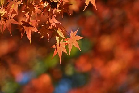 The orange leaves of fall on a nice blured background with space for text or copy