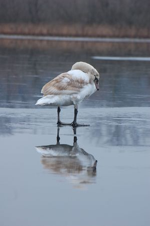 A swan in reflection Stock Photo