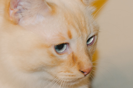 face close up: Orange Cat Face Close Up with Blue Eyes Stock Photo
