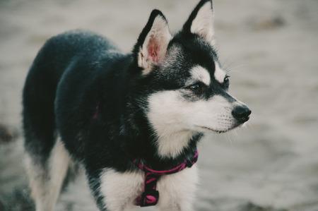 Black  White Alaskan Klee Kai
