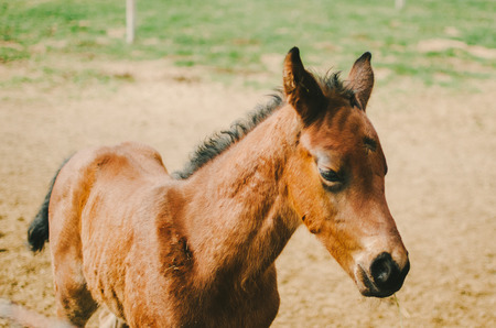 filly: Young Brown Horse Walking