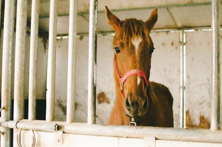 Kastanje paard staat in Stall