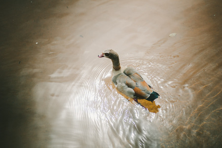 Brown  Gray Duck in Pond