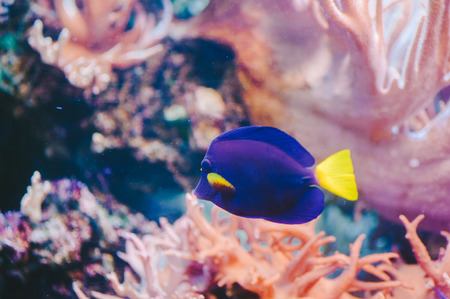 Blue Tang with Pink Coral Stock Photo