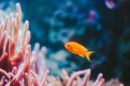 ピンク珊瑚と金魚