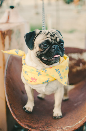 Pug Wearing Yellow Bandanna