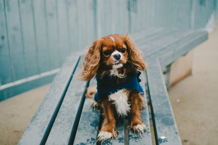 King Charles Dog in Blue Jacket Stock Photo