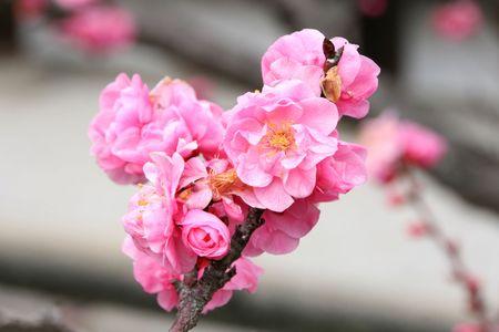 sakura flowers on the branch