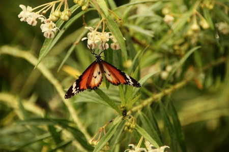 Corlorful Butterfly in red, white and black on white flower