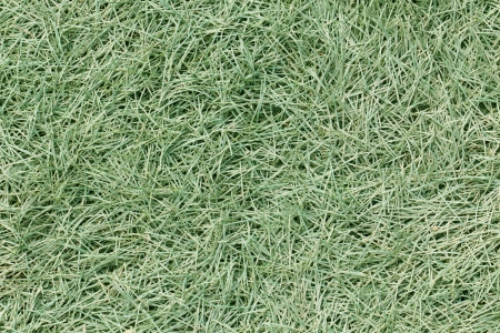 green grass texture background of lawns field
