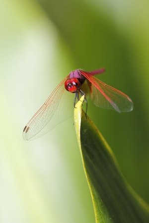 Red dragonfly resting outdoor in a garden, macro shot