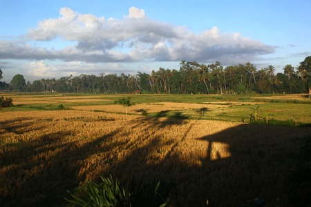 Landscape of the Paddy Rice field with hut shadow at Bali countryside Indonesia