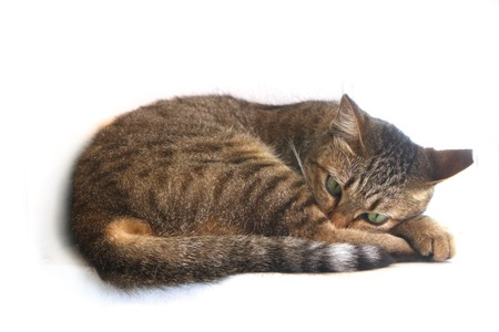 Cat is going to have a nap, isolate on white Stock Photo