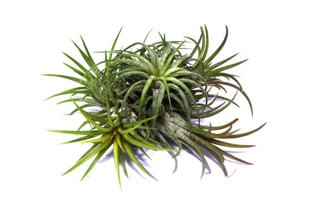 Tillandsia Air plant with pups isolated on white background Stock Photo