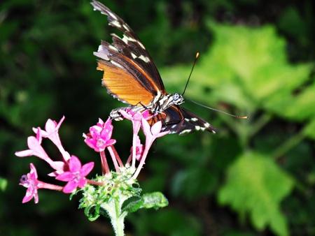 너덜 된 날개를 가진 주황색 나비의 근접 작은 분홍색 꽃에 자리 잡고있다. 스톡 콘텐츠