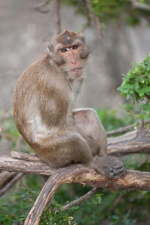 simia troglodytes: ape