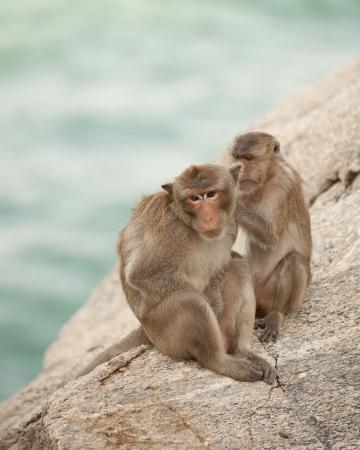 simia troglodytes: family monkey Stock Photo
