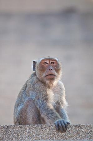 simia troglodytes: monkey