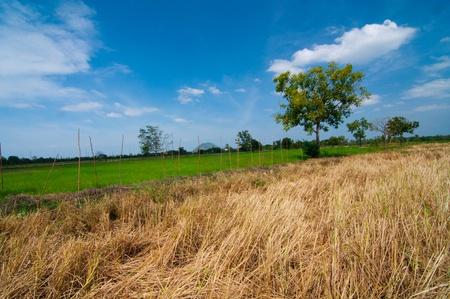 Rice field green grass landscape background  photo