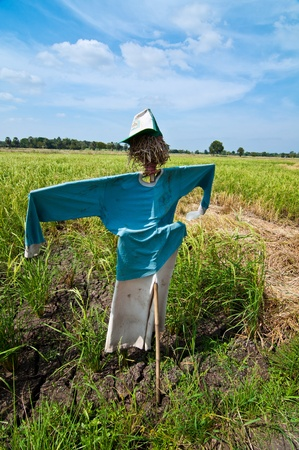 scarecrow in paddy field