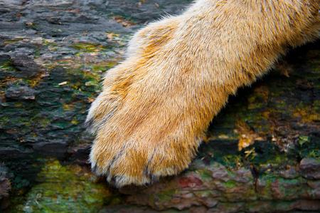 Tiger foot