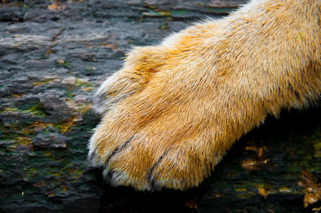 Foot of tiger