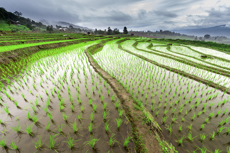 terraced field: Green Terraced Rice Field in Pa Pong Pieng in raining season, Mae Chaem, Chiang Mai, Thailand