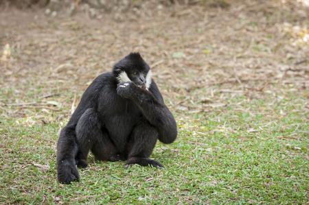 handed gibbon: Gibbons in zoo. Stock Photo