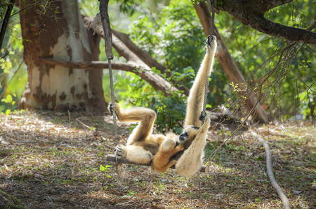handed gibbon: Gibbons in zoo. Stock Photo
