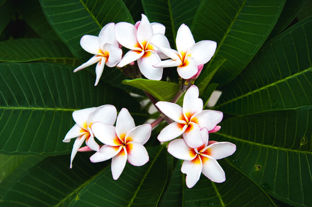 leis: Beautiful white plumeria flower