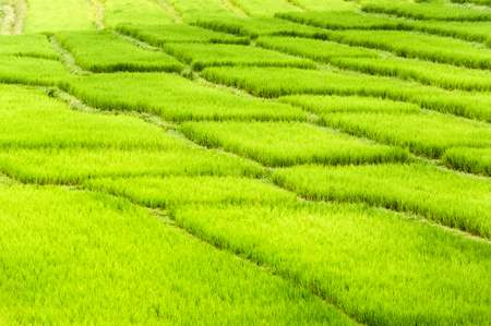 terracing: beautiful green fields under blue sky in summer with white clouds and perspective