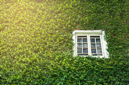 White window covered with green ivy Stock Photo