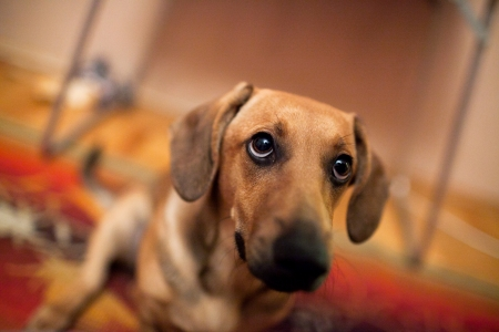 wirehaired: dachshund dog in home