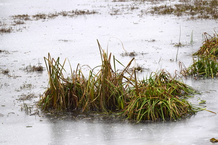 Struiken van riet op het meer bedekt met ijs royalty vrije foto