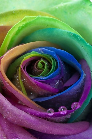 Rose rainbow Banco de Imagens - 12427485