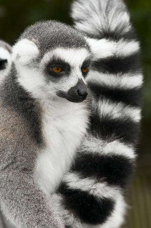 ring tailed: Portrait of  ring tailed lemur Stock Photo