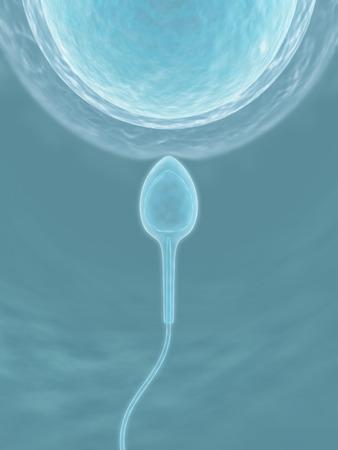 esperma: Espermatozoides (La fecundaci�n)