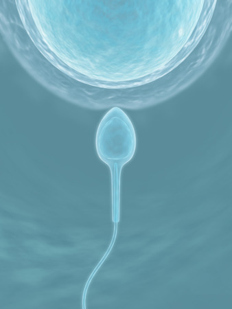 ovule: Sperm (The fecundation)