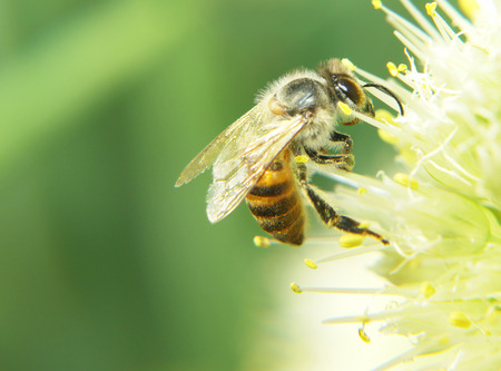Bee working to remove the nectar of the flower