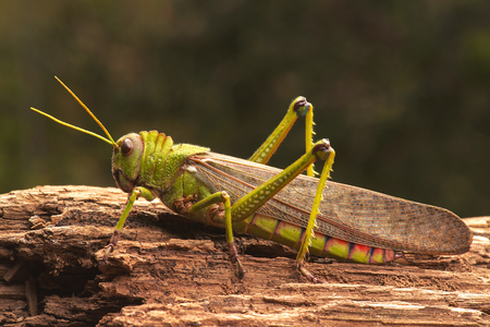 critter: Giant grasshopper on the trunk of a tree.