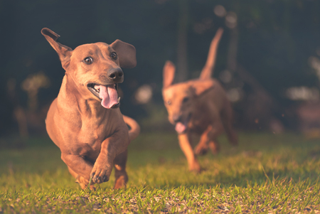 Dogs playing and running in the grass. Banque d'images
