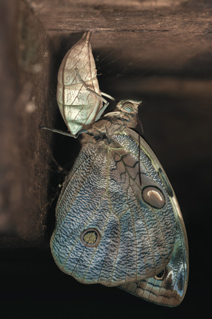 insecta: Owl Butterfly out of the cocoon. Caligo Beltrao Owl Butterfly is a butterfly of the Nymphalidae family. The species can be found in Brazil.