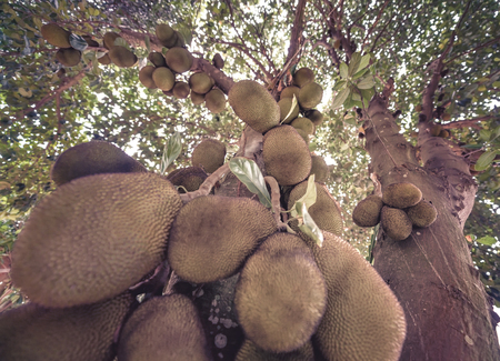 Jackfruit tree full of fruits. Image with depth of field and focus on center.