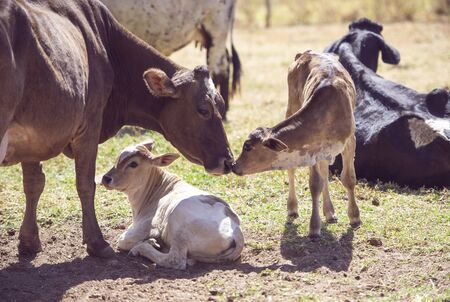 Mother cow taking care of newborn calf