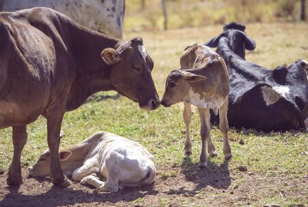 Mother cow taking care of newborn calf.